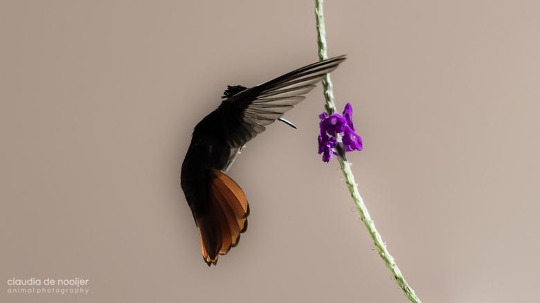 Anoniem - Ondanks dat deze kolibrie anoniem wenst te blijven, is het een mooi beeld geworden.