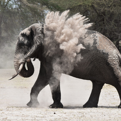 Olifant in Amboseli NP Kenia
