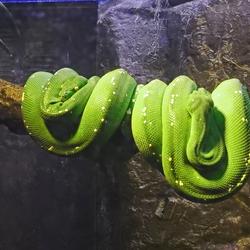 Twee  groene boom pythons