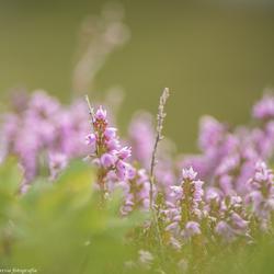 Heide in Oostenrijk
