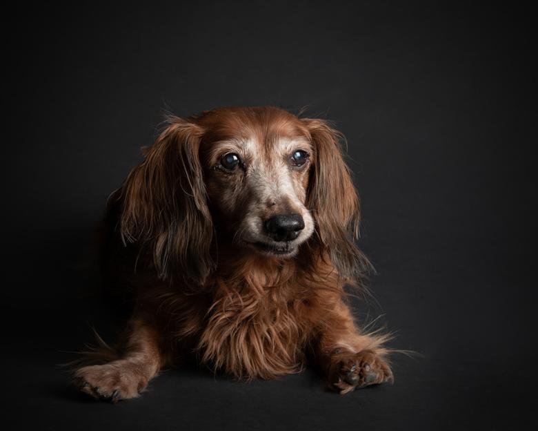 Pluis - Dit is Pluis. Een teckel van 16 jaar. Doof, bijna blind en zij heeft hele kromme en zwakke pootjes. Ik wilde haar voor haar vrouwtje vereeuwig