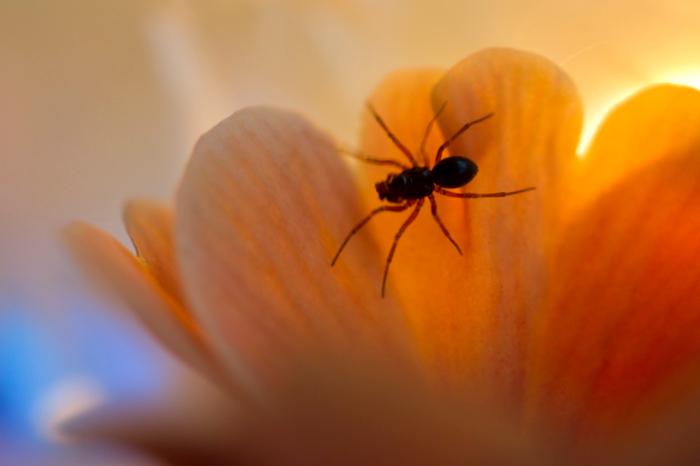 spinnetje - Onlangs een paar primulaatjes gekocht om wat foto's te maken, waarvan ik er één heb geplaatst. Een paar dagen later weer wat foto&#03