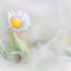 Frozen Daisy.