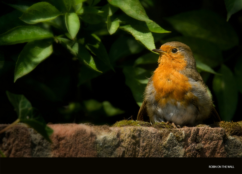 Robin on the wall -