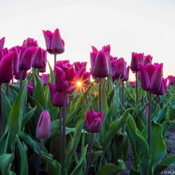Een laatste uit het tulpen seizoen