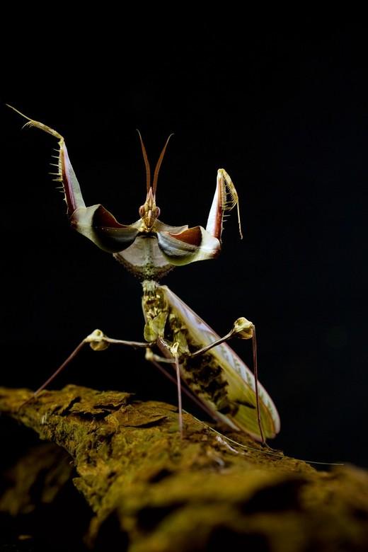 the devil - de duivels mantis..ofwel idolomantis diabolica<br /> tot mijn grote vreugde is dit machtige insect volwassen geworden en toont hier haar