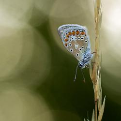 Icarusblauwtje Appelzak