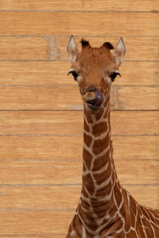 Portret jonge giraffe Blijdorp -