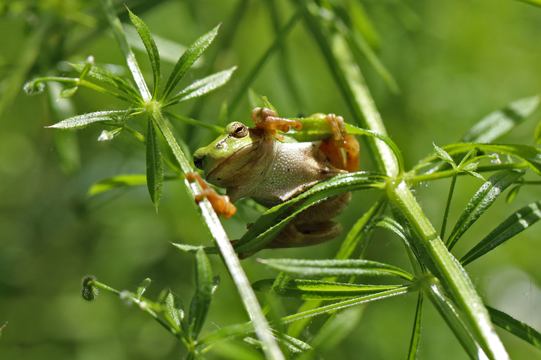Boomkikker tussen het groen - Claudia Nelissen - De boomkikker is een heel kleine grasgroene kikker met zuignapjes aan het einde van vingers en tenen.
