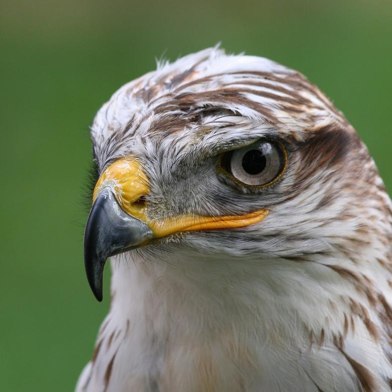 Strakker - Deze koningsbuizerd heeft een strenge boze blik, een vogel waar je aan de blik te zien niet mee moet sollen.<br />
