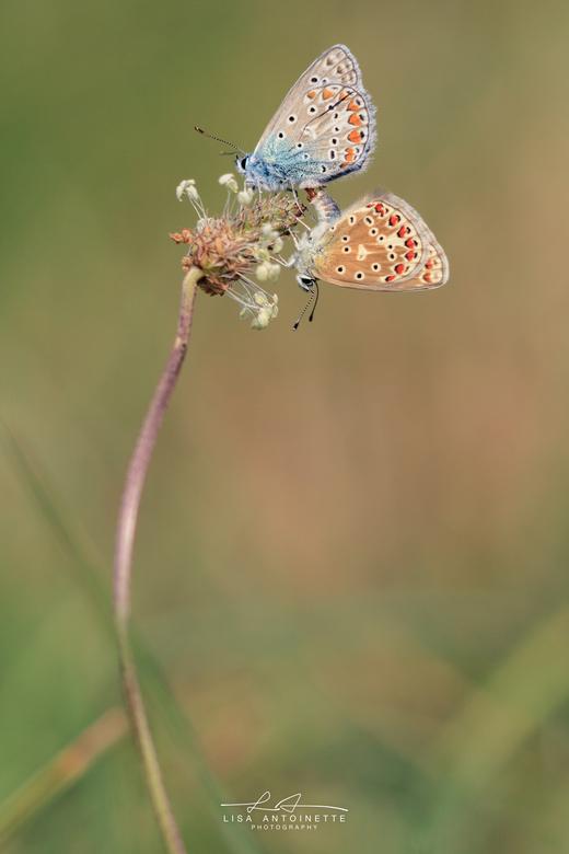 Icarius blauwtje -