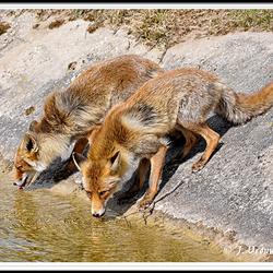 twee dorstige vossen