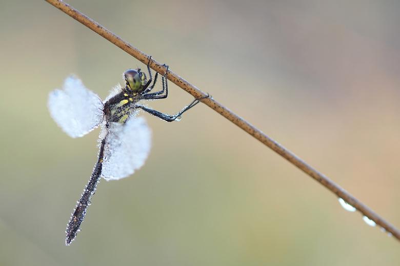Hanging Around - De eerste libel die ik deze mooie ochtend kon fotograferen was deze zwarte heidelibel.
