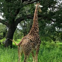 Giraffe in Senegal