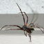 Een grote spin.