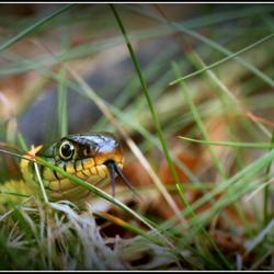 Ringslang ( grass snake)