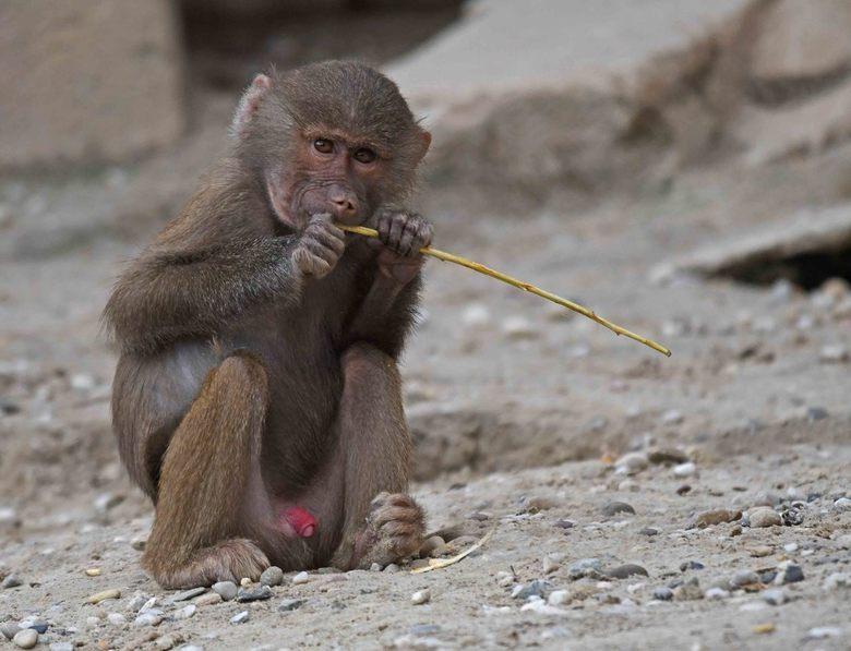 kinderspel - In het oude Egypte werden bavianen gebruikt voor bewaking. Nachtwachten deden hun ronde in gezelschap van een baviaan. Sterker, veel ster