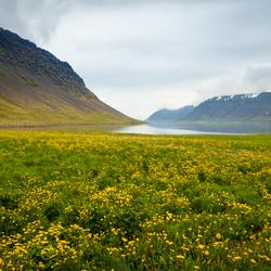 lentebloemen in de Westfjorden