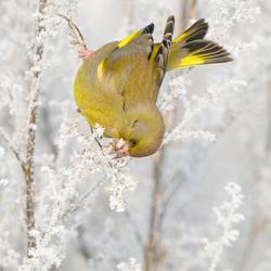 winterse groenling