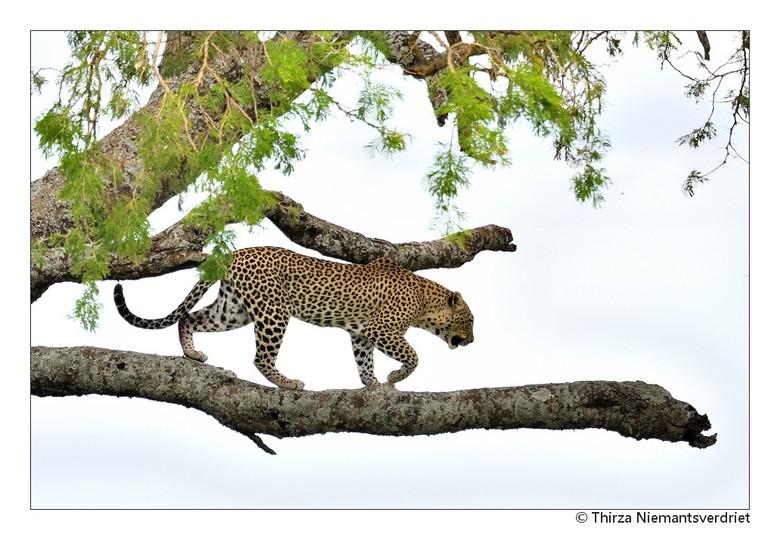 African Leopard - Tijdens een gamedrive in de uitgestrekte Serengeti, geluk gehad om (vorig jaar) deze prachtige luipaard te spotten.  Eerst slapend o