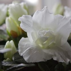 Witte Bloem, Bokeh
