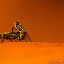 Mating Flies 1