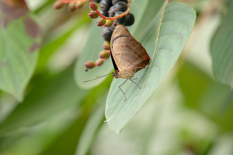 Gestreepte koningsschoenmaker - Gezien in de Mangrove in BurgersZoo. Hij zag er uit als een blaadje! Op de vlinderkaart gezien dat de bovenkant van zi