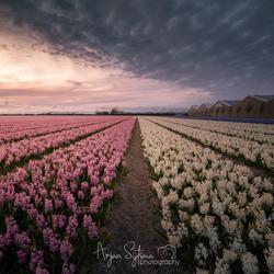 Lijnenspel van hyacinten