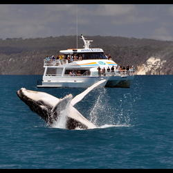 Humpback Whale Australie