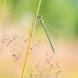 The Damselfly