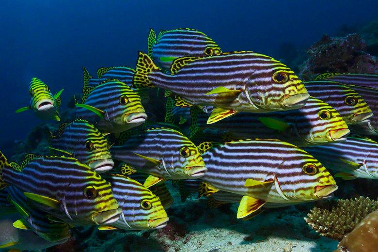 Oriental Sweetlips - Een school Oriental Sweetlip vissen hangt tegen de stroming in.