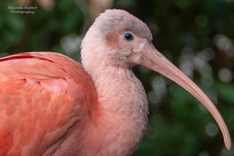 De rode Ibis - Deze rode Ibis in blijdorp gefotografeerd.