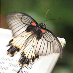 Vlinder in het Nederlands