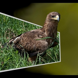 Buizerd out of bounds