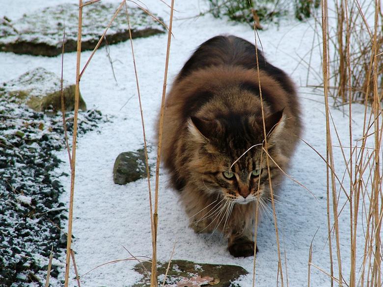 Coon in de sneeuw - Met haar dichte vacht is deze Coon prima in haar element.