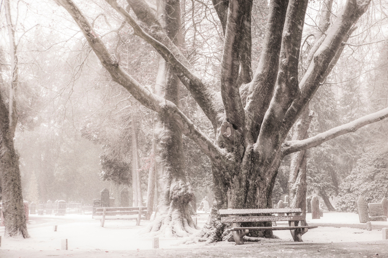 big tree - Grote oude boom op de openbare begraafplaats in Almelo