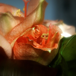 Soft-focus rode bloem