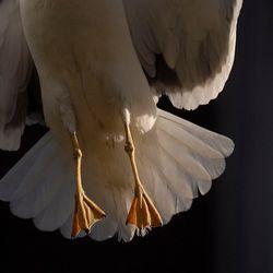 Wegvliegende kleine mantelmeeuw