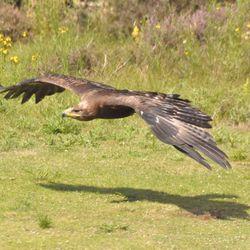 Steenarend in vogelvlucht