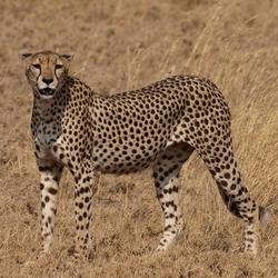 Cheetah in de Serengeti