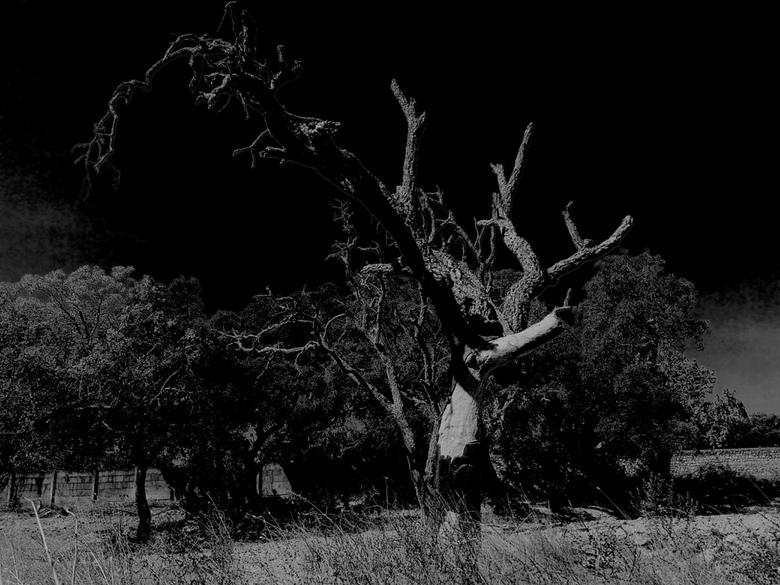 Dode kurkeik - Dode kurkeik, gefotografeerd in Portugal.
