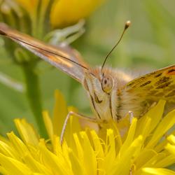 Close up distelvlinder (1)