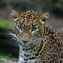 Sri lanka panter