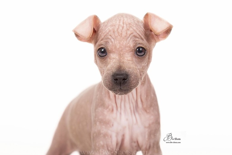 Primrose american hairless terrier puppy