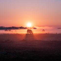Zonsopgang tussen een kudde koeien