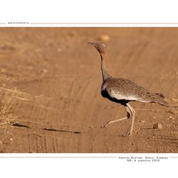 Buff-crested Bustard, Kenia