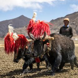Tibetaanse boer met yak's