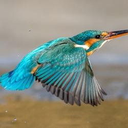 Ijsvogeltje in volle vlucht