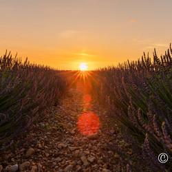 sunset between lavendel