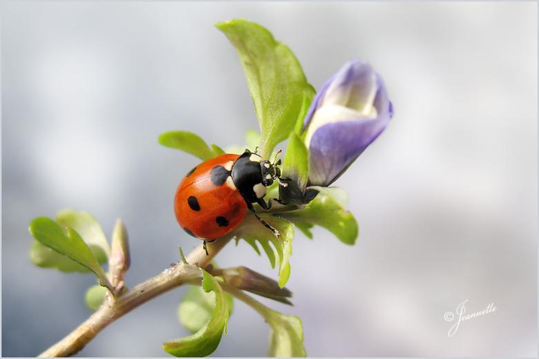 De eerste lentebode.......... - Bij de eerste zonnestralen komen de lieveheersbeestjes als eerste tevoorschijn om de lente in te luiden.<br /> En om